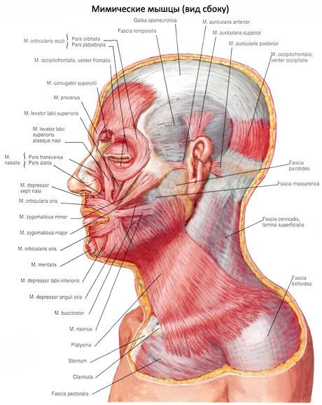 耳介の筋肉 | iLiveの健全性につ...